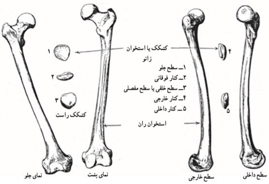 استخوان ران _ طراحی پا _ آموزشگاه طراحی